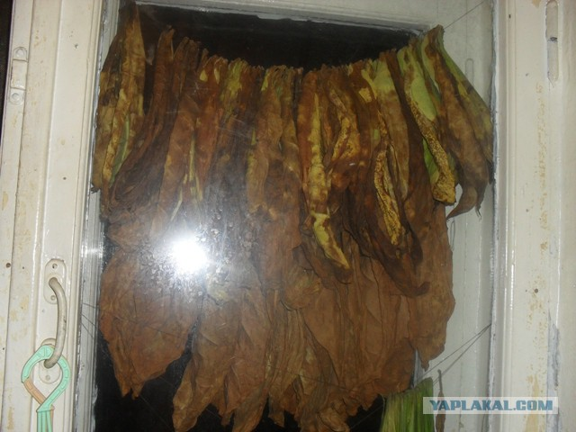Старение табака в домашних условиях