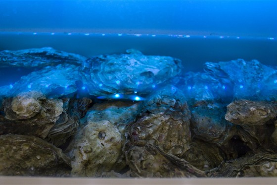Ресторан Clumba Club - фотография 13 - Дальневосточные устрицы в аквариуме ресторана Clumba Club.