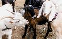 Посмотрите, какие козлята: гладим пушистиков на ферме при ВДНХ