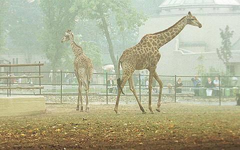 Жираф Самсон, слон Александра II и другие кадры из истории московского зоопарка