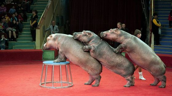 Танцующие бегемоты