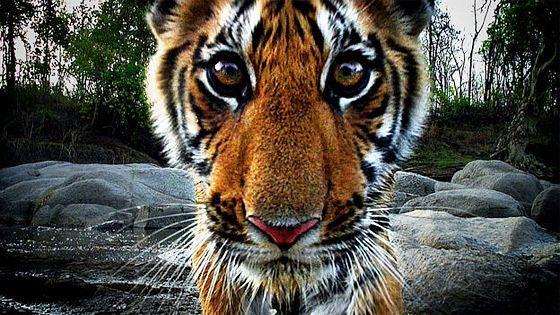 Тигр — шпион в джунглях (Tiger: Spy in the Jungle)